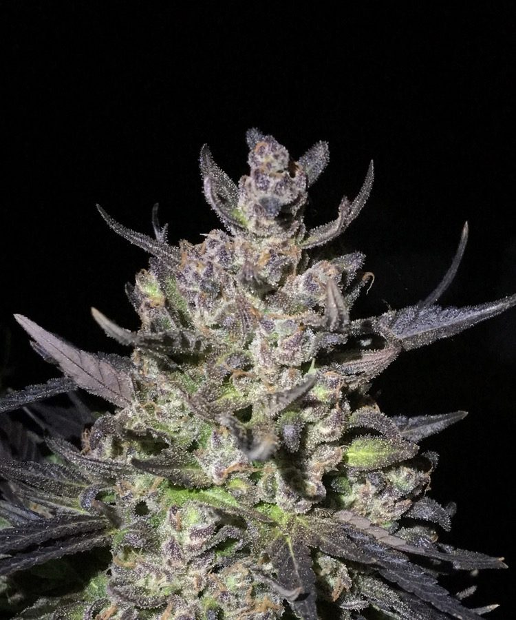 SPK (Sour Patch Kids) | Dark Heart Nursery