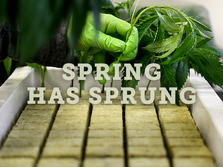 Spring has Sprung Dark Heart Cannabis Clones Blog Post